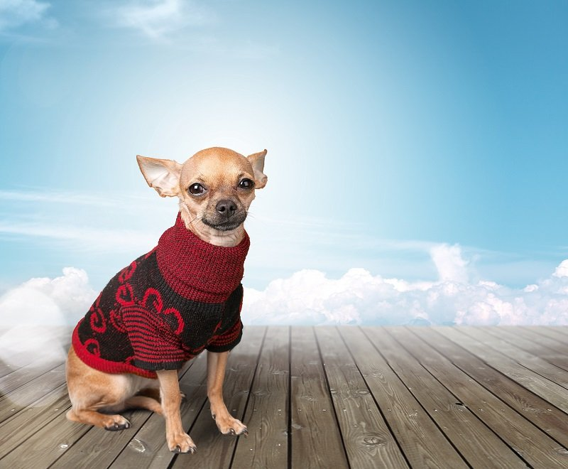 Chihuahua dog wearing sweater on  background