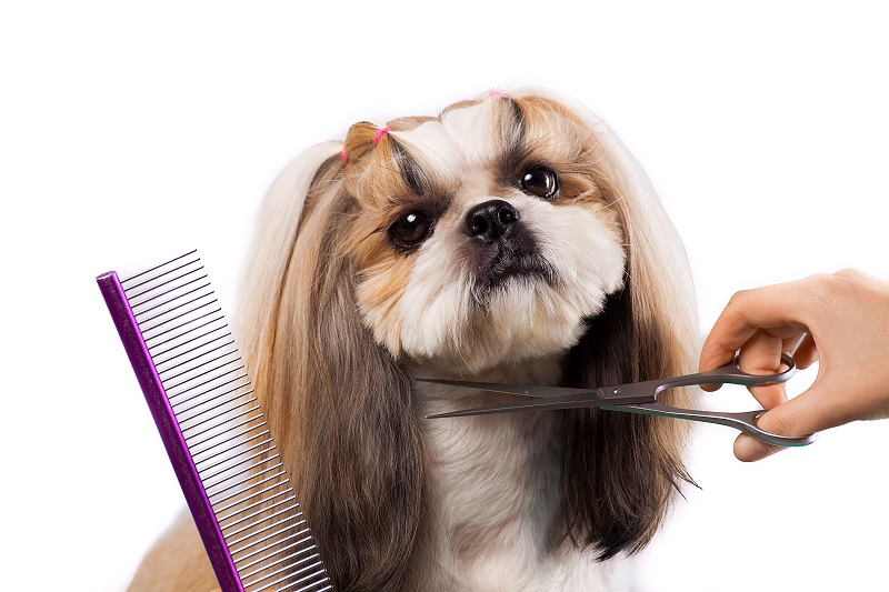 Shih Tzu being groomed