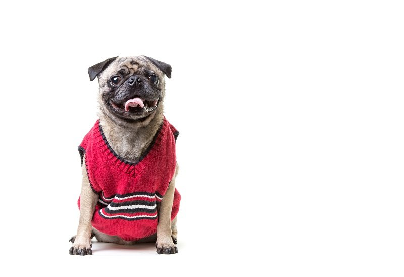 Pug in a sleeveless sweater