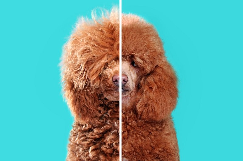 Dog grooming photo of brown poodle before and after