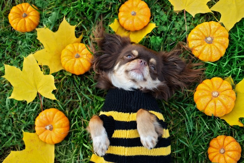 Bumblebee sweater for this Chihuahua