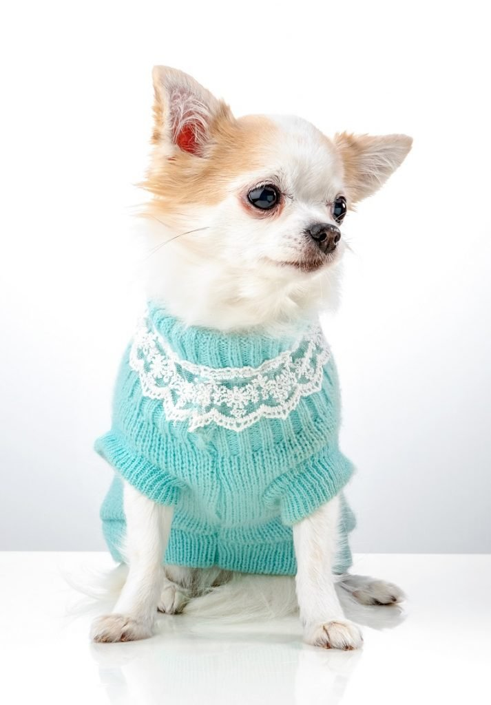 Blue sweater for a handsome Chihuahua