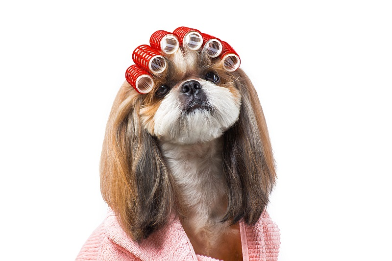 Shih Tzu with curlers in the hair