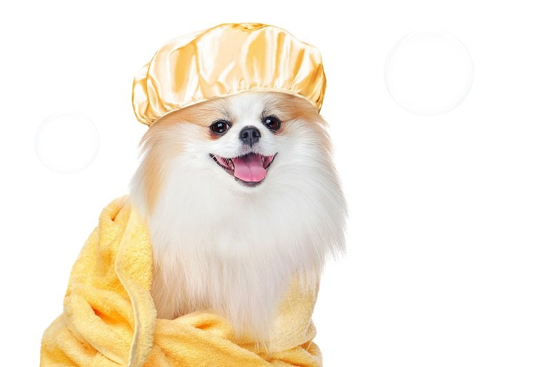 Spitz in a yellow bathrobe and shower cap