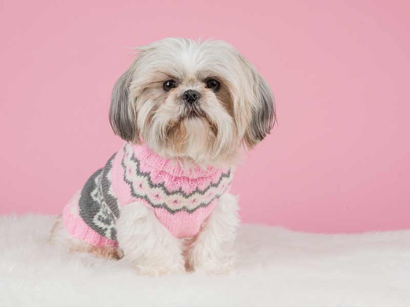 Pink and grey sweater for this cute Shih Tzu