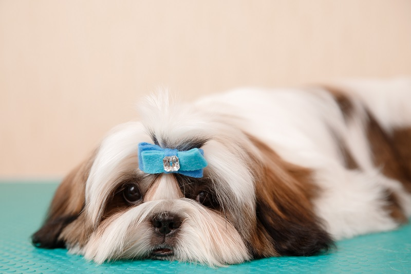 Pretty Shih Tzu with a bow-tie
