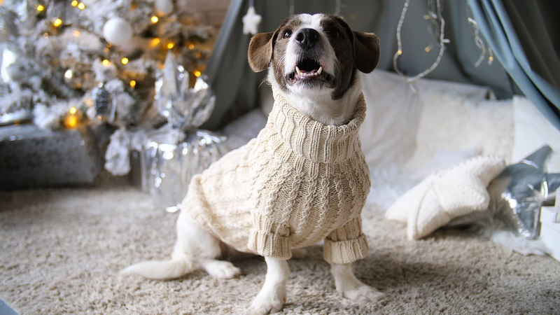 Dog Wearing Sweater At Home During Christmas Holiday Season.