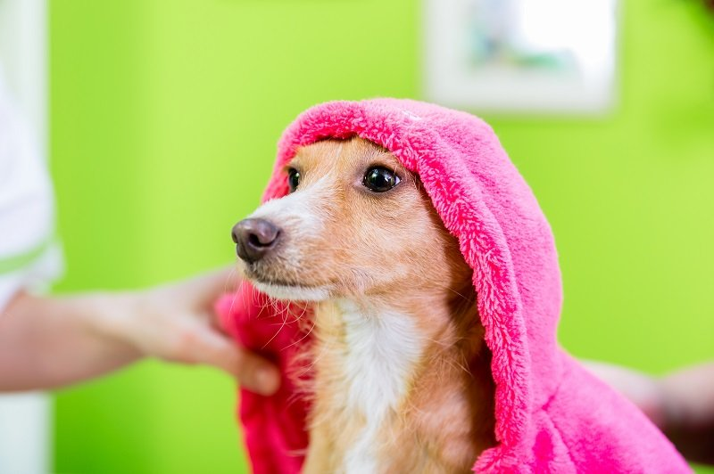 Dog looking like Little Pink Riding Hood with towel on the head