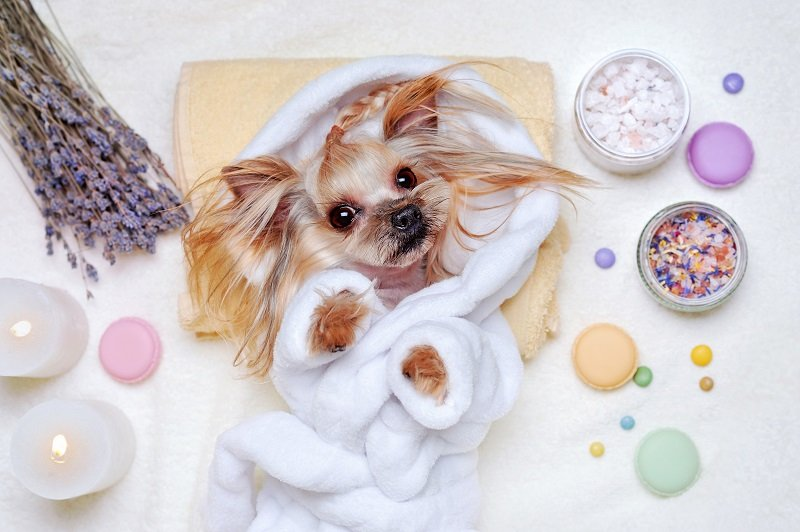 Yorkie lying on table in bathrobe with spa products around it