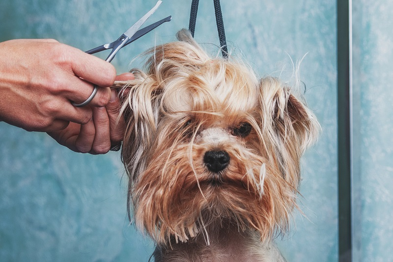 Yorkie being groomed by a professional
