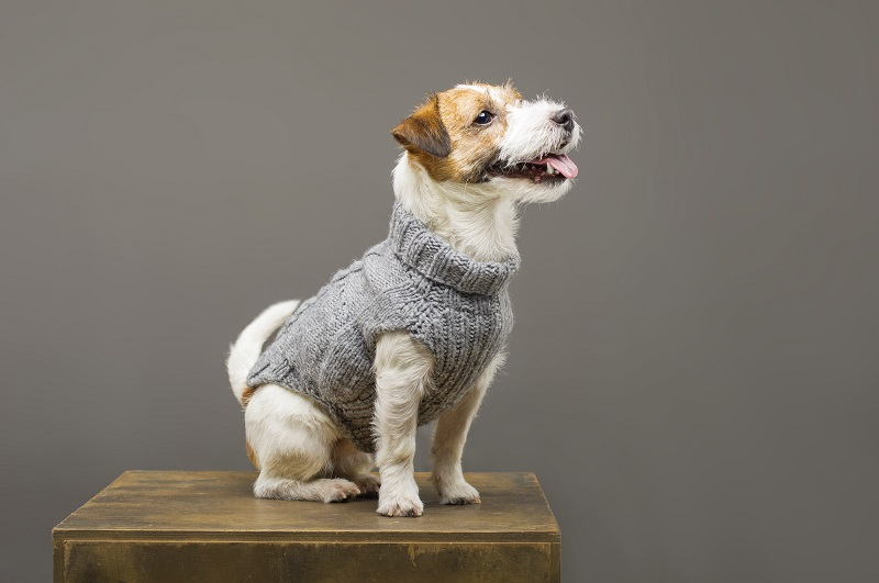Charming Jack Russell posing in a studio in a warm gray sweater. Mixed media
