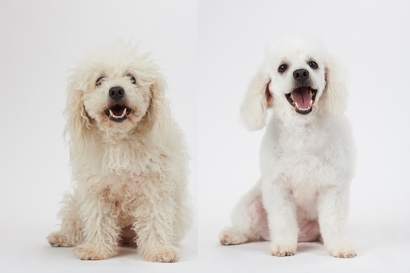 Before and after photo of groomed white Bichon Frise