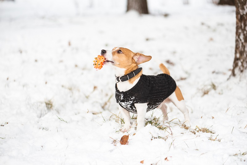 Little Jack Russell Terrier standing on snow holding toy in mouth
