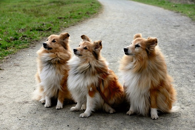 three brown shelties
