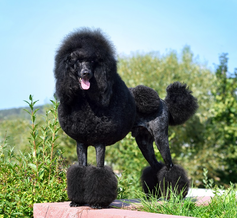 Black poodle groomed around the legs