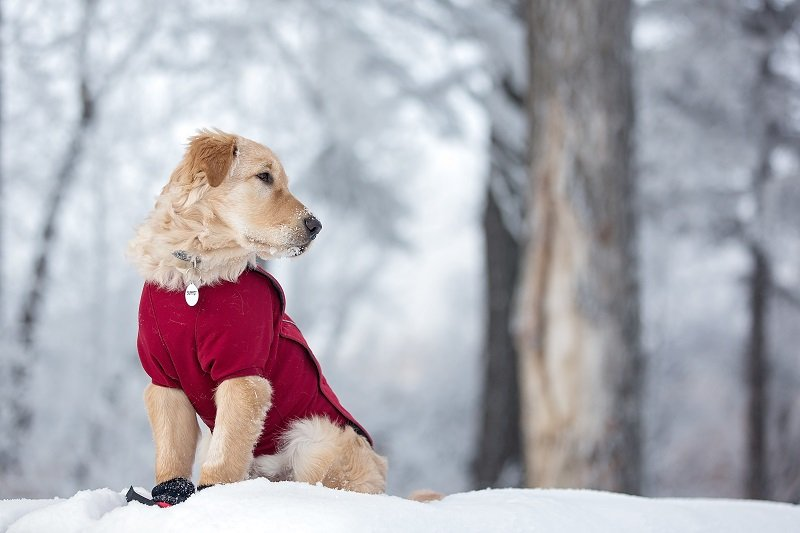 Golden retriever cross in an attractive red sweater