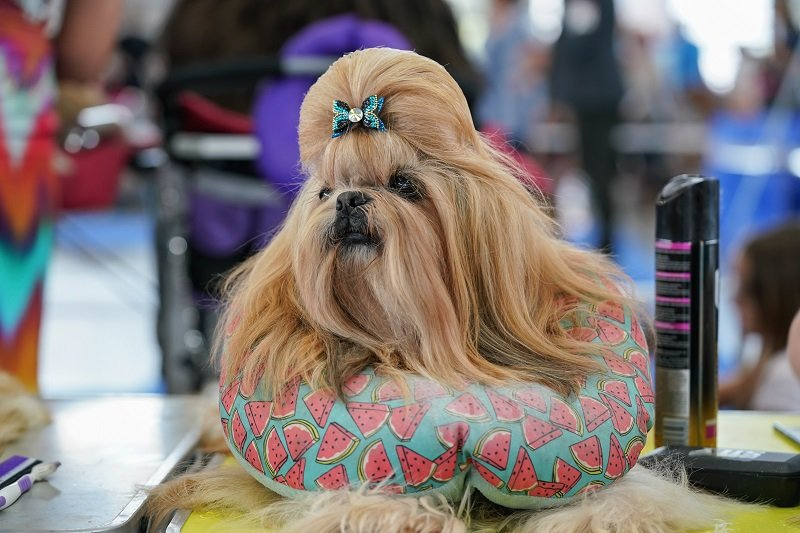 Yorkie looking like Chewbacca
