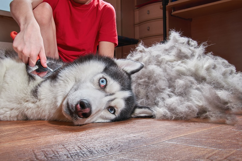 Husky being brushed with pile of fur lying on the floor