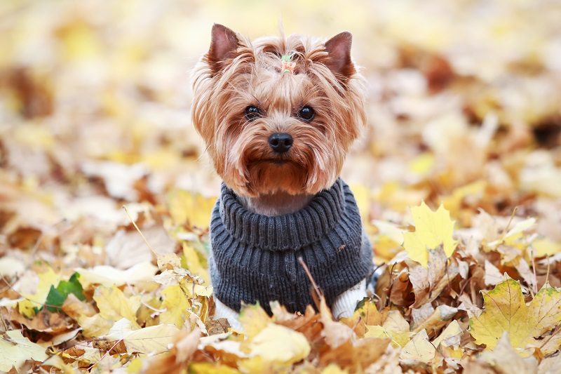 Yorkie in a blue sweater