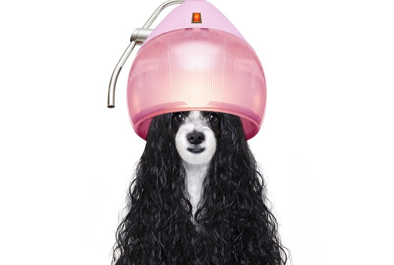 Cocker with long curly hair sitting under hair dryer