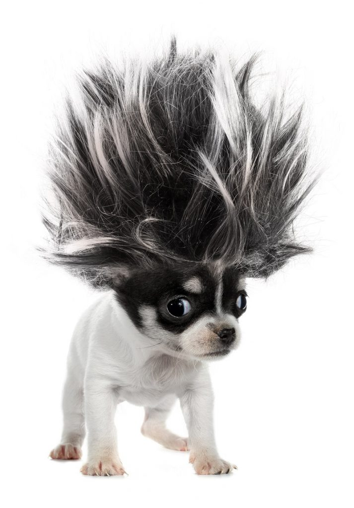 Funny dog looking like Syndrome from The Incredibles movie with very pointy hair