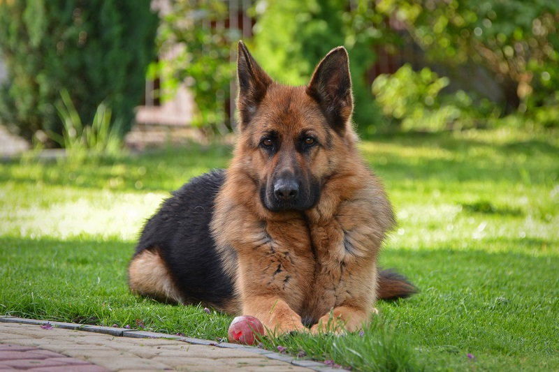 German Shepherd lying down with red ball