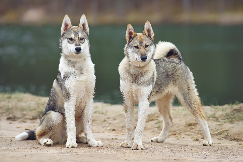 Two young West Siberian Laika dogs outdoors near the water