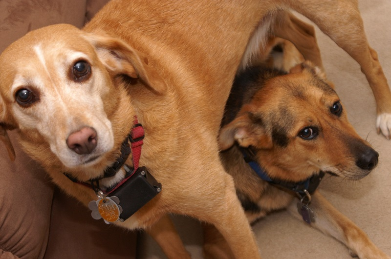 two dogs with shock collar or anti bark collar