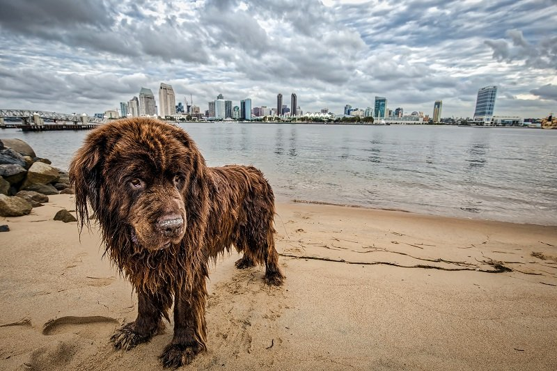 Newfoundland dog brown coat by the water