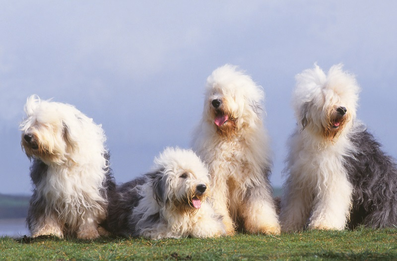 four bobtails or old English sheepdogs sitting together