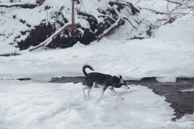 Alaskan Klee Kai Walking Along Frozen Stream