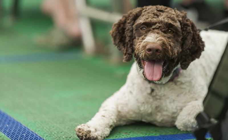 A close up of a Barbet dog lying down on a ferry during a sunny summer day