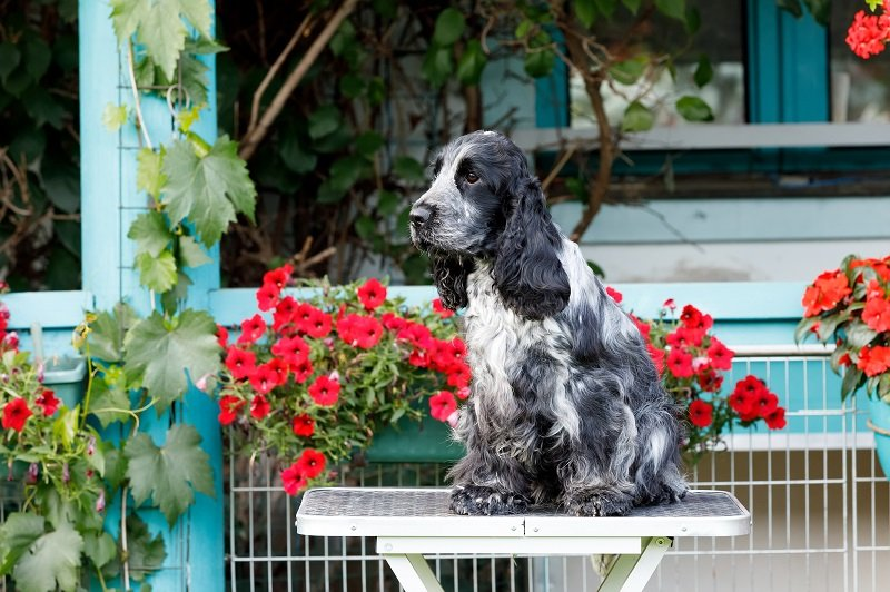 An english cocker spaniel surrounded by flowers