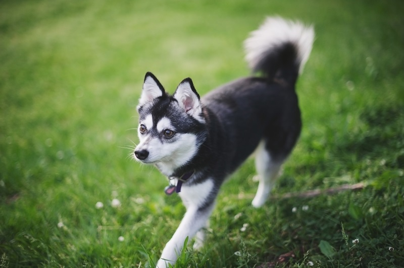 Black and White Alaskan Klee Kai at Park