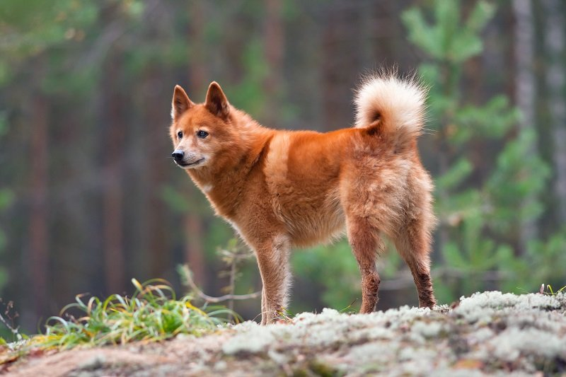 hunting dog Finnish Spitz on the blurred background