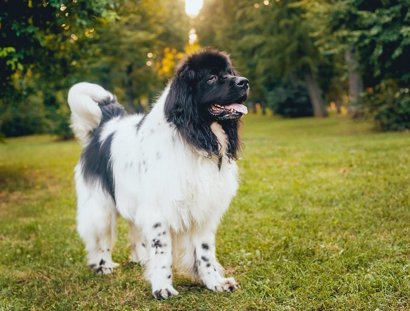 Beautiful newfoundland dog in the park with black and white coat