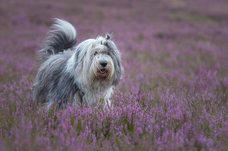 Bobtail or Old English Sheepdog in field of flowers