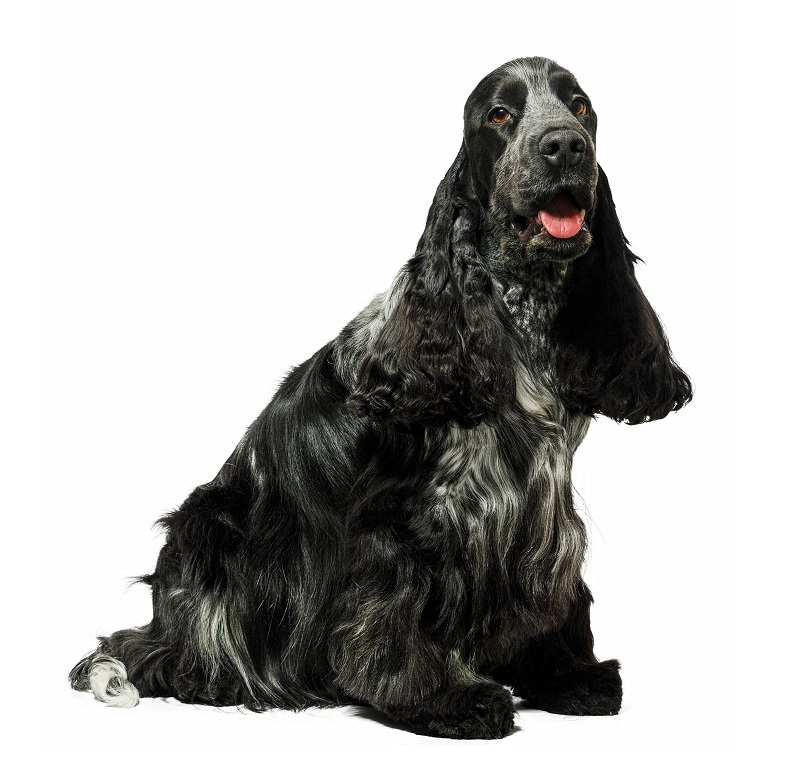 Black English cocker spaniel dog sitting