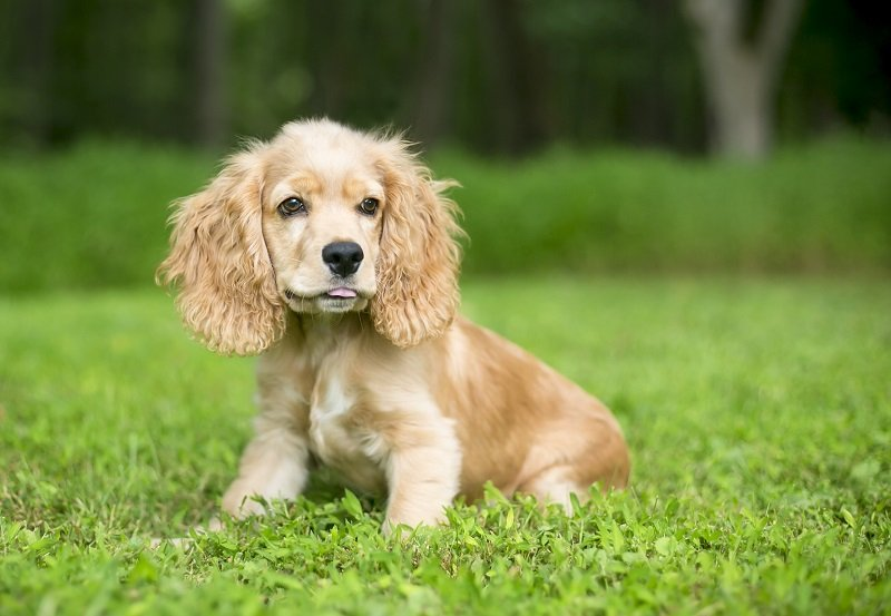 A young English Cocker Spaniel puppy in the grass