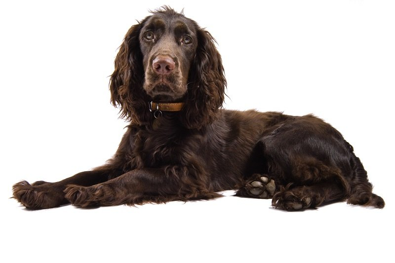 Brown cocker spaniel dog lying down