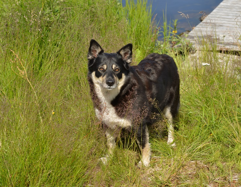 Lapponian herder (Lapinporokoira or Lapp Reindeer dog or Lapsk Vallhund) in tall grass on lake shore Finnish Lapland