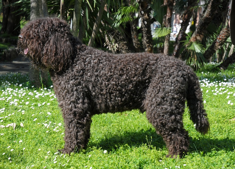 Barbet black coat with tight curls
