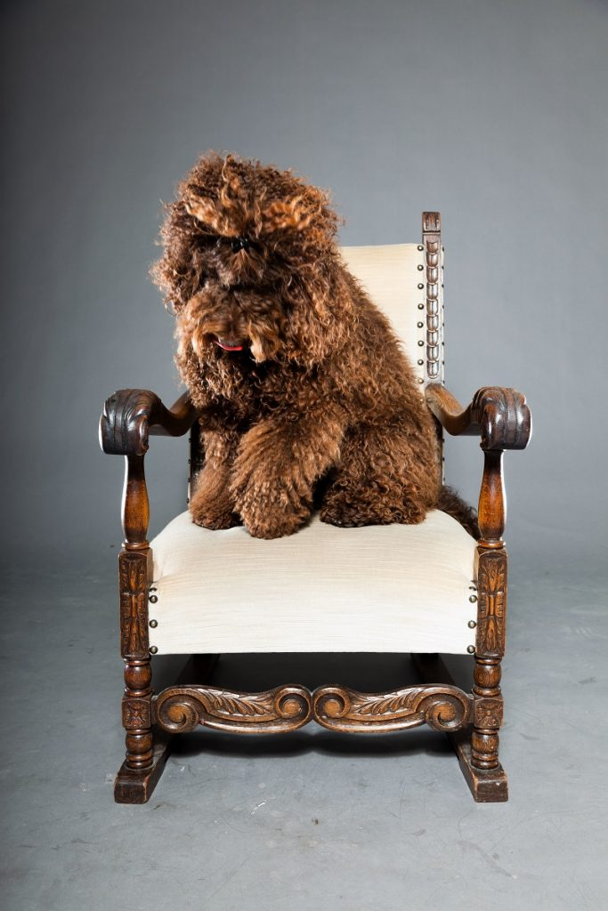 Brown Barbet dog on a chair