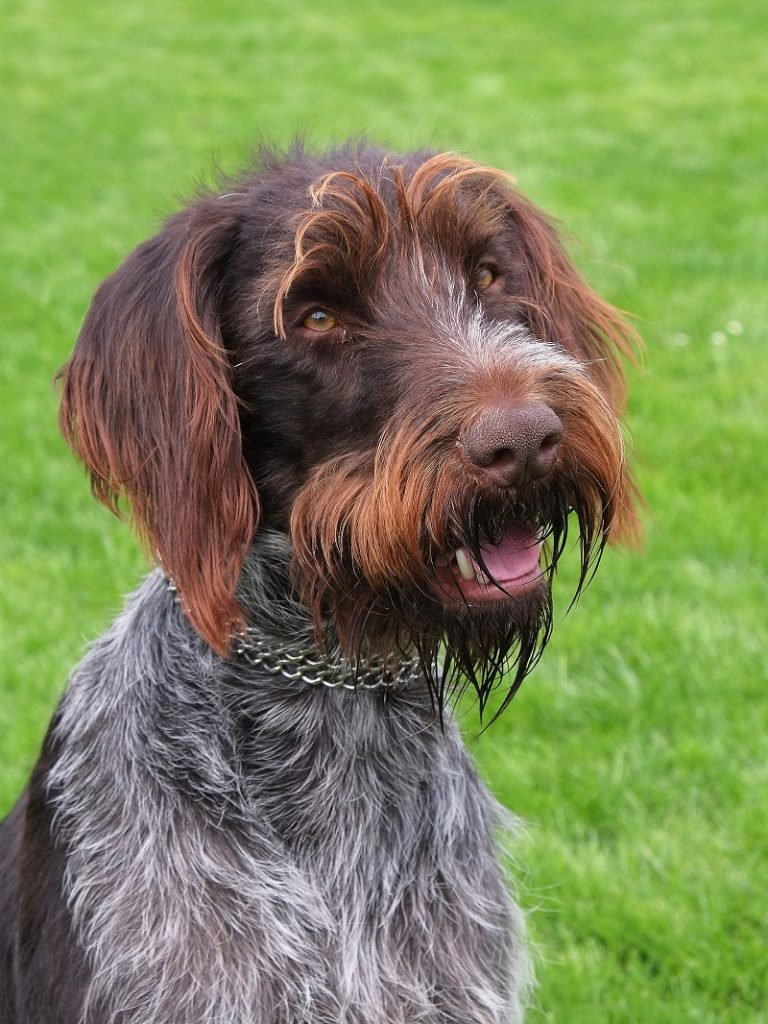 head shot of Bohemian wire haired pointer dog