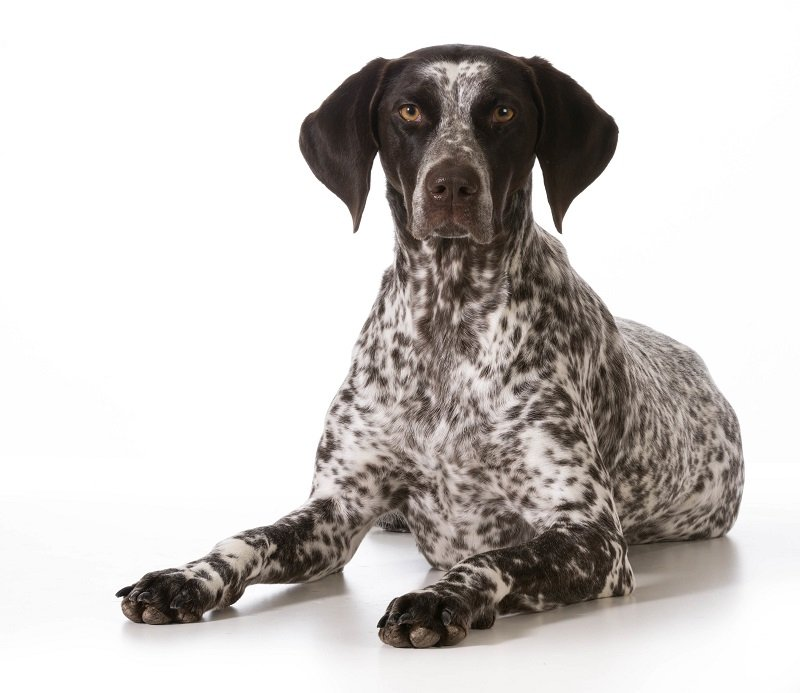 german shorthaired pointer female laying down looking at viewer isolated on white background