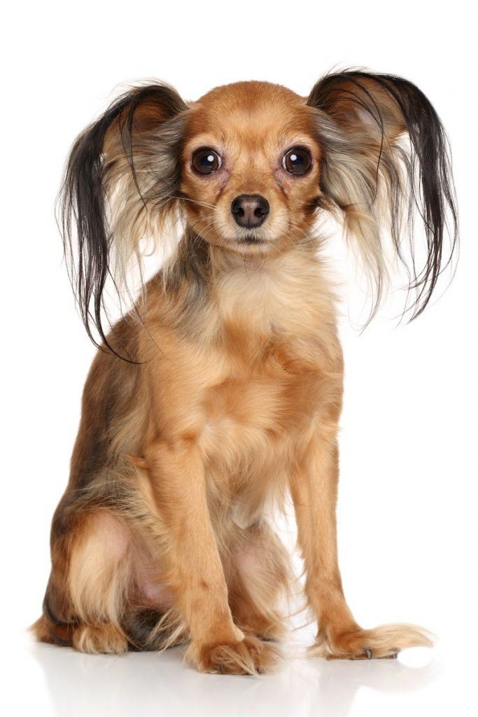 Russian long haired Toy Terrier in front of white background