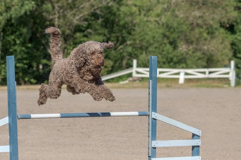 Barbet jumps over an agility hurdle
