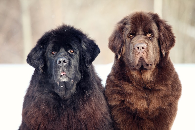 Black and brown Newfoundland dogs sitting and looking at the camera in winter