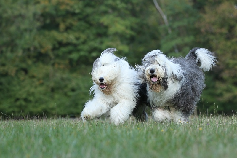 Two Bobtails running together Old English Sheepdogs run in farm