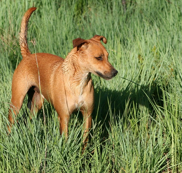 Africanis extinct ancient dog breed on earth